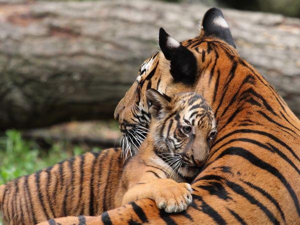 tiger-cub-cincinnati-zoo_19895_600x450